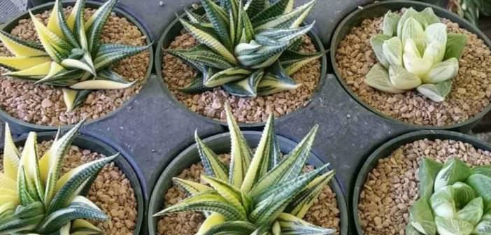 How to Grow and Care for Haworthia   World of Succulents