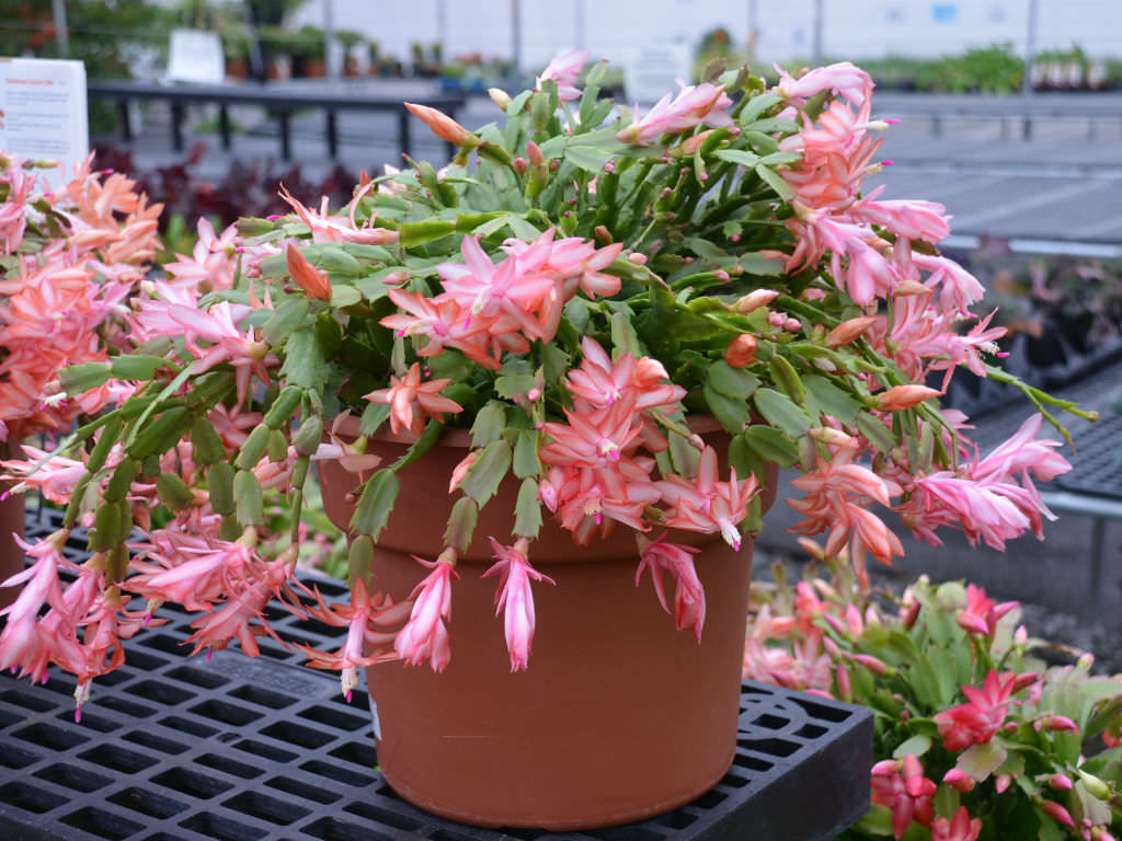 How To Grow And Care For A Holiday Cactus World Of