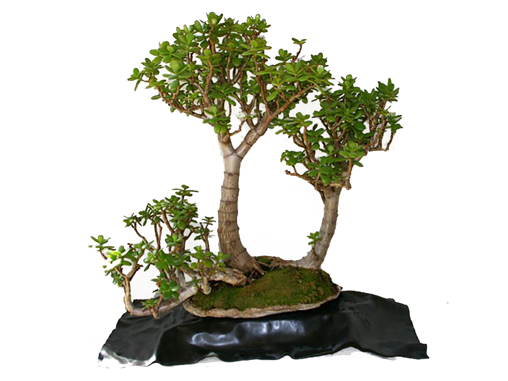 Care Guide For The Jade Bonsai Tree