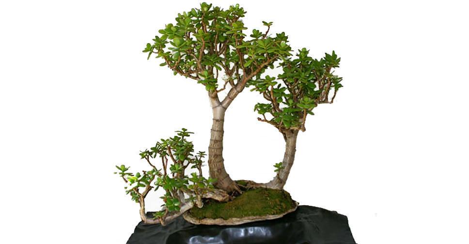 S L likewise Tricolor Jade in addition Ed Ac Cd C Deb C E E Eb E F as well P furthermore Avatar. on jade bonsai tree care