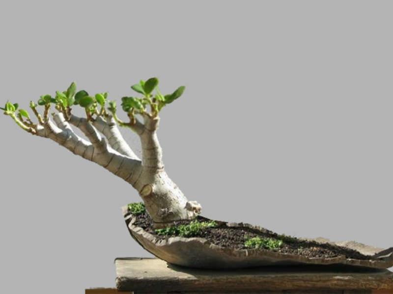 Awe Inspiring 4 Steps To Prune The Perfect Jade Bonsai World Of Succulents Wiring 101 Photwellnesstrialsorg