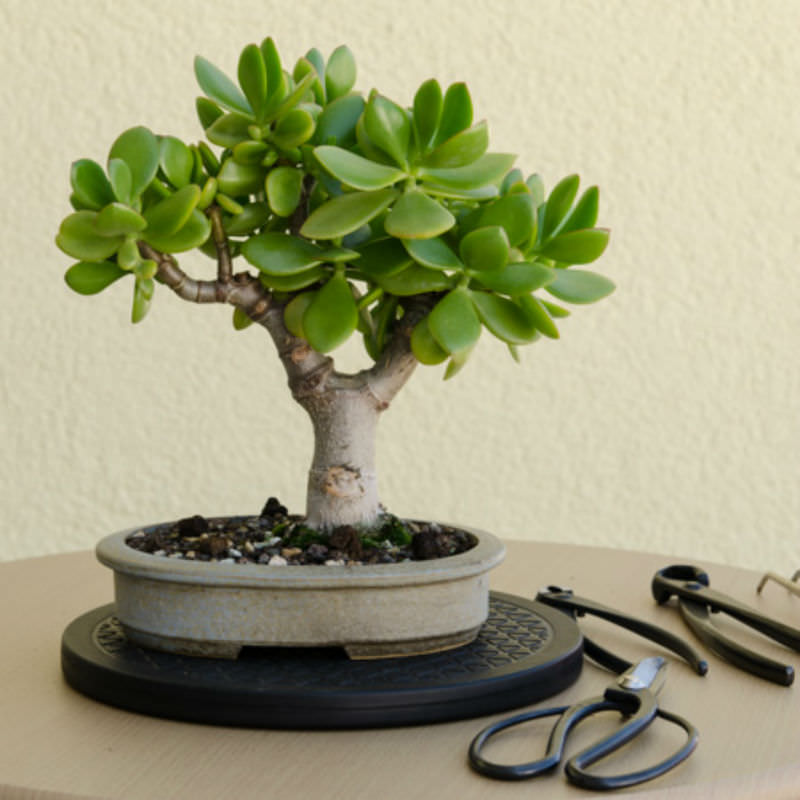 4 steps to prune the perfect jade bonsai world of succulents rh worldofsucculents com Bonsai Jade Plant Bonsai Jade Plant