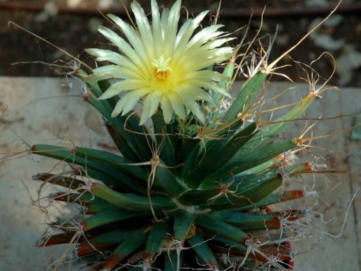 Leuchtenbergia principis - Prism Cactus