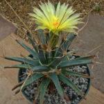 Leuchtenbergia principis (Agave Cactus)
