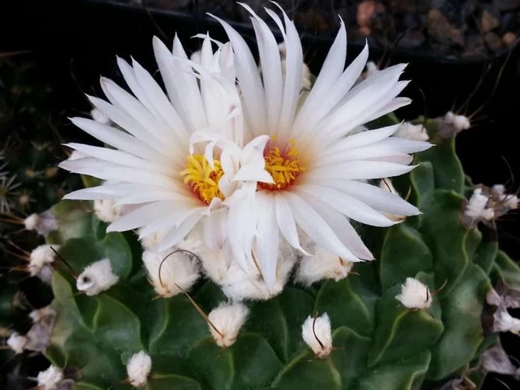 Obregonia denegrii (Artichoke Cactus)