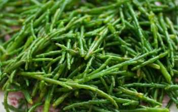 Salicornia europaea - Sea Asparagus