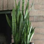 Sansevieria trifasciata (Snake Plant)