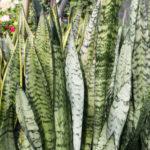 Sansevieria zeylanica - Ceylon Bowstring Hemp