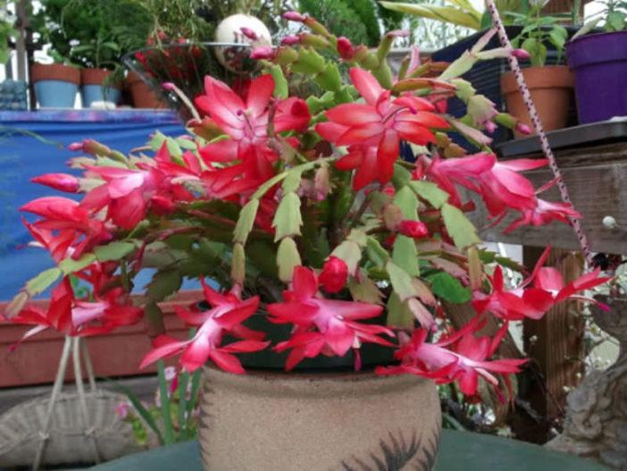 Schlumbergera bridgesii - Christmas Cactus
