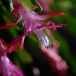 Schlumbergera bridgesii (Christmas Cactus)