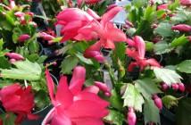 Schlumbergera truncata - Thanksgiving Cactus