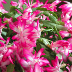 Schlumbergera truncata (Thanksgiving Cactus)