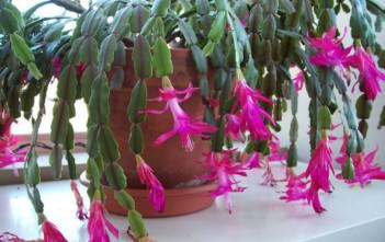 Schlumbergera x buckleyi (True Christmas Cactus)