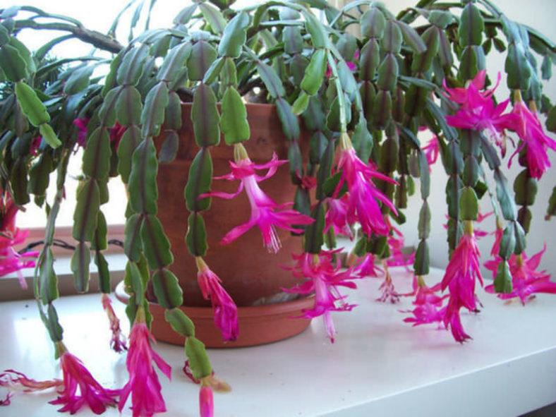Schlumbergera × buckleyi (True Christmas Cactus)
