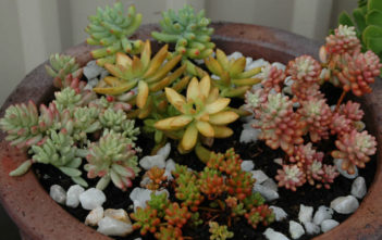 Grow and Care Sedum