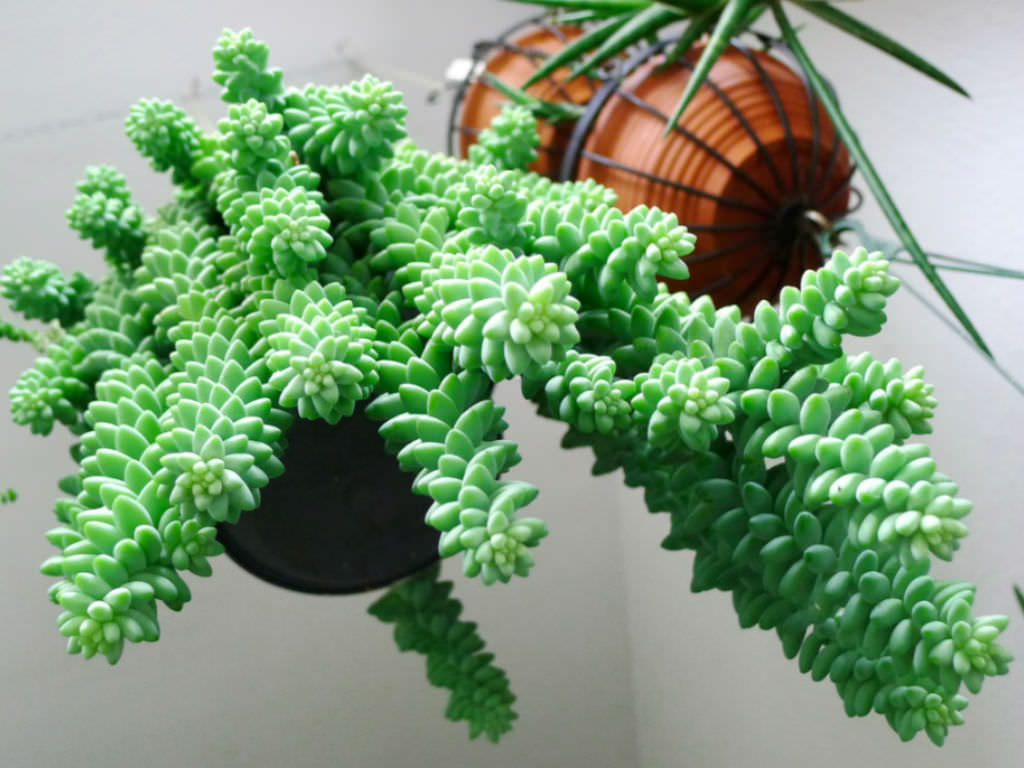How Many Feet Is 90 Inches How To Grow And Care For Sedum World Of Succulents