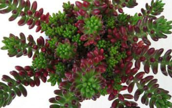 Sedum rubrotinctum (Jelly Bean Plant) aka Sedum x rubrotinctum