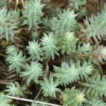 Sedum rupestre (Reflexed Stonecrop)