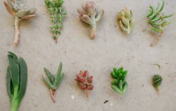 Succulent Plant Clippings