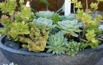 Succulents for Home Gardens