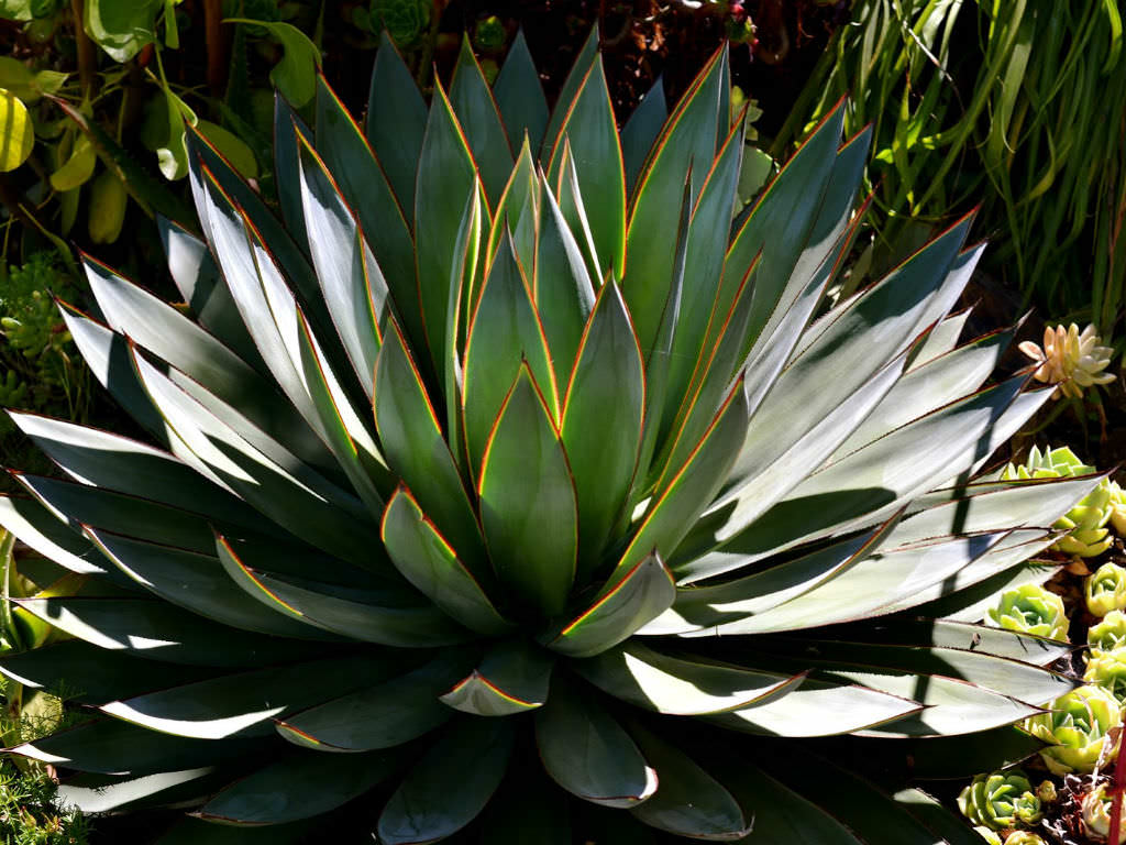 Agave Blue Glow World Of Succulents