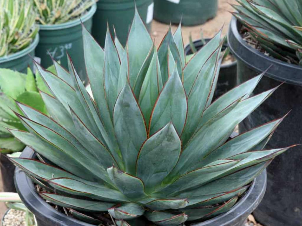 Agave Blue Glow Succulent Plant Medium