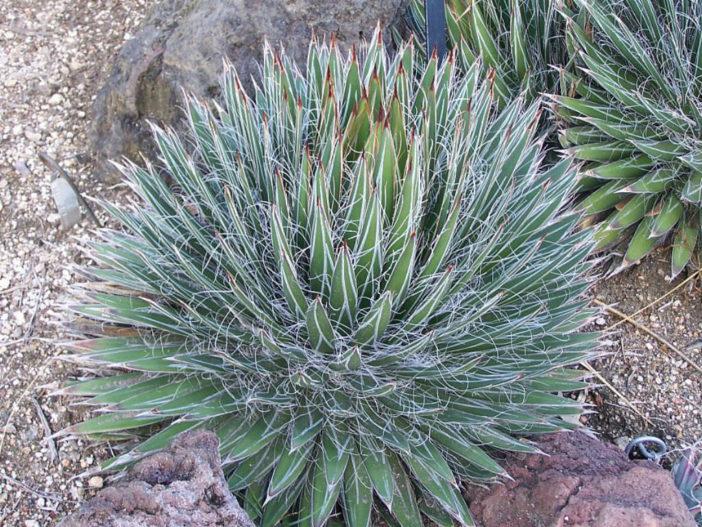 Agave filifera - Thread Leaf Agave