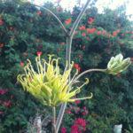 Agave potatorum - Butterfly Agave