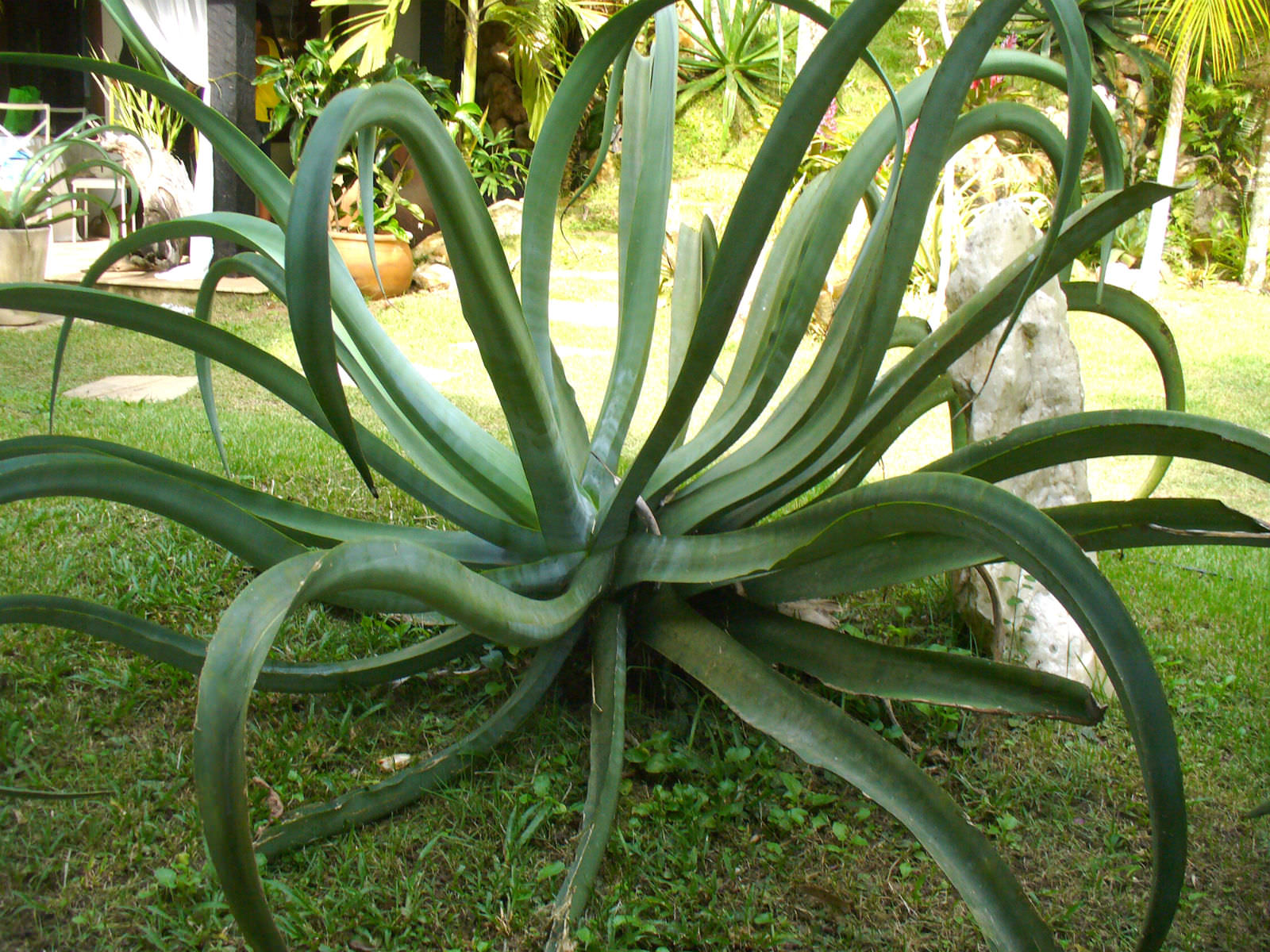Agave vilmoriniana - Octopus Agave | World of Succulents Octopus Plant