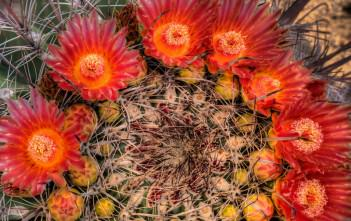 Barrel Cactus Bloom