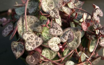 Ceropegia linearis subsp. woodii (String of Hearts) aka Ceropegia woodii