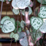 Ceropegia linearis subsp. woodii (String of Hearts) aka Ceropegia woodii