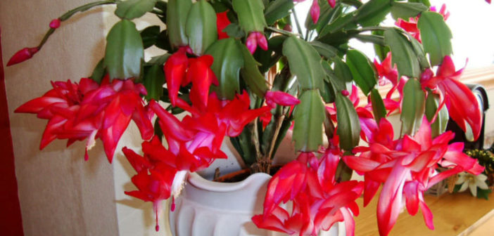10 Facts About Christmas Cacti | World of Succulents