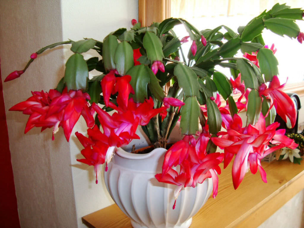 Christmas Cactus Bloom.10 Facts About Christmas Cacti World Of Succulents