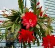 Disocactus ackermannii - Orchid Cactus