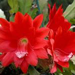 Disocactus ackermannii (Red Orchid Cactus)