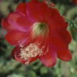 Disocactus speciosus - Sun Cereus