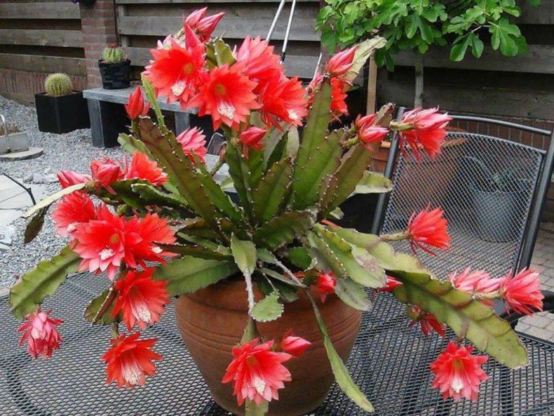 Disocactus × hybridus (Orchid Cactus)