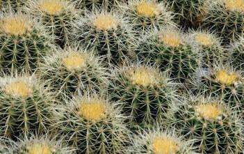 Echinocactus grusonii (Golden Barrel Cactus)