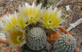 Echinocereus dasyacanthus (Texas Rainbow Cactus)