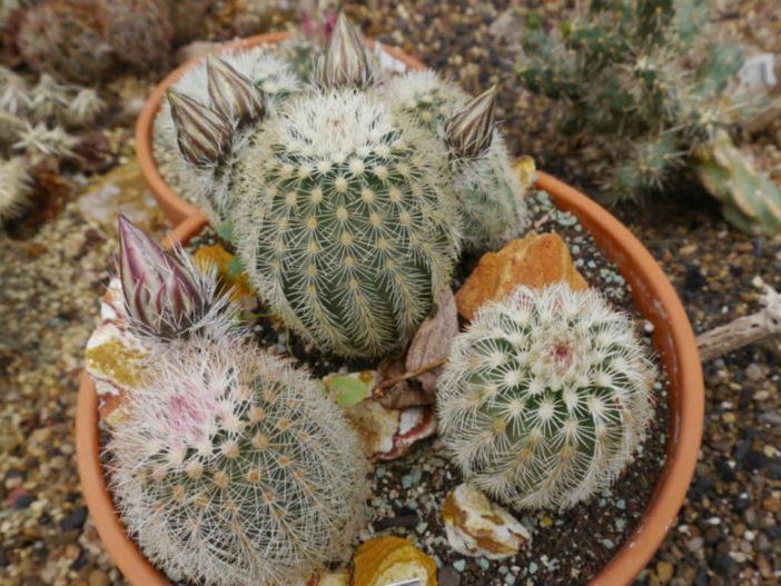 Echinocereus dasyacanthus - Texas Rainbow Cactus