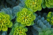 Euphorbia myrsinites - Myrtle Spurge Donkey Tail