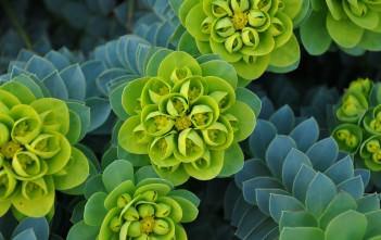 Euphorbia myrsinites (Myrtle Spurge)