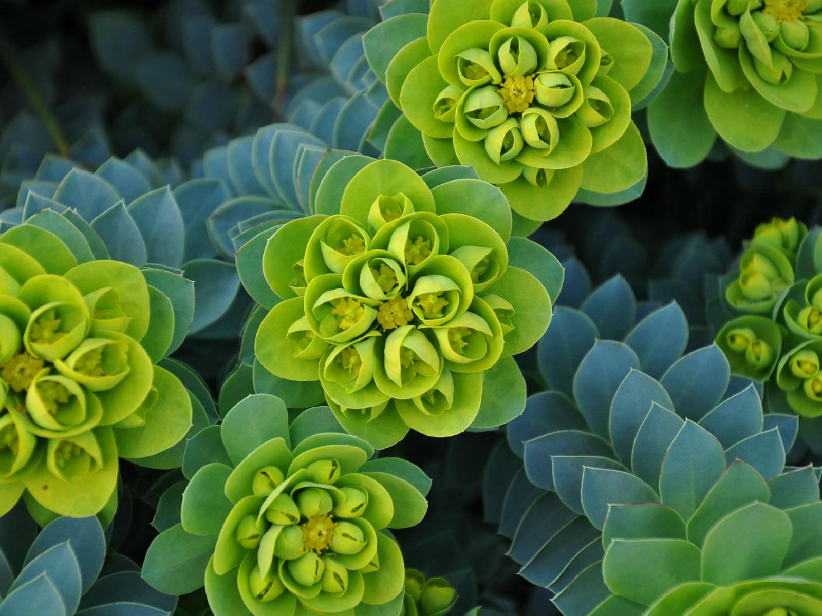 Self Watering Euphorbia Myrsinites Myrtle Spurge Donkey Tail World