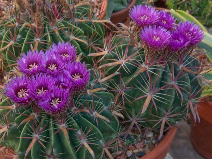 Grow and Care Ferocactus (Ferocactus latispinus)