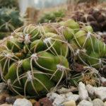 Gymnocalycium denudatum - Spider Cactus
