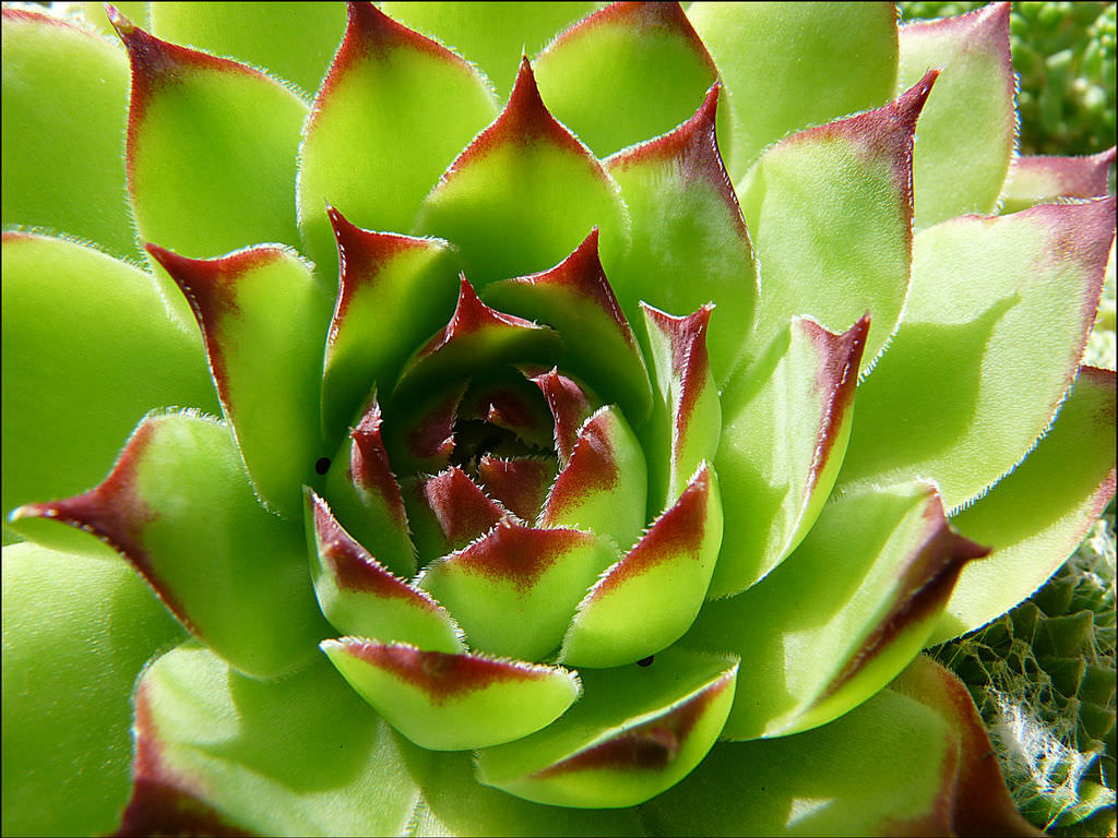 Maintain Your Health Naturally With Houseleek | World of Succulents