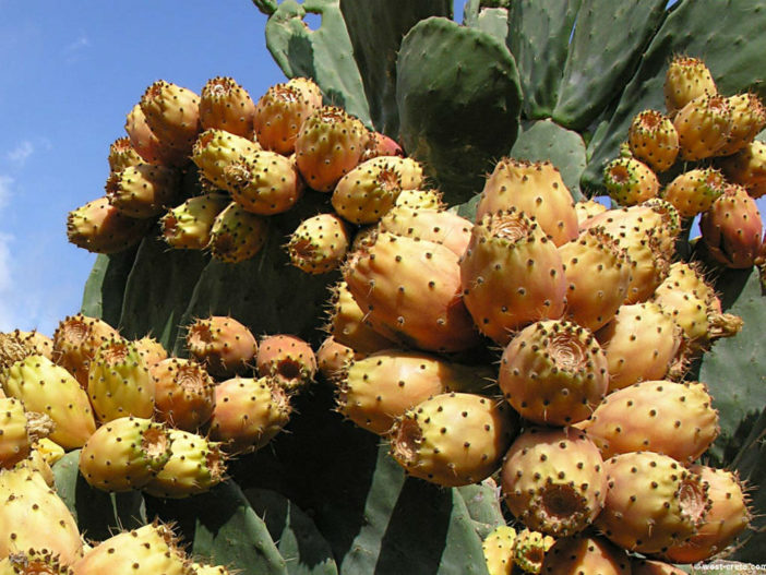 Indian Fig Opuntia - A Fruit and Vegetable