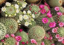 How to Grow and Care for Mammillaria