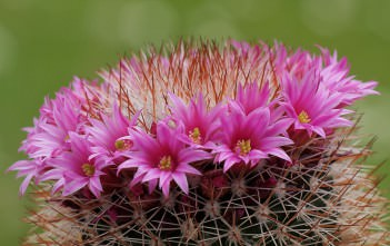 Mammillaria spinosissima (Red-Headed Irishman)
